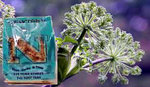 Angelica European Organic