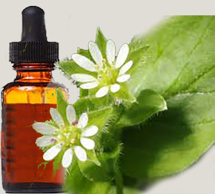 CHICKWEED, Stellaria media, 1:1 Fluid Extract