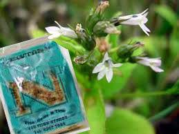 Lobelia Herb Newtons Pharmacy