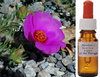 Rock Rose Flower Essence 50ml